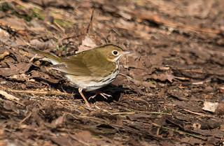 IMG_0863  Ovenbird_warbler