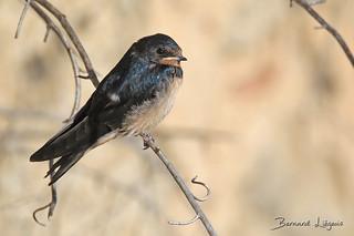 Hirundo rustica Hirondelle rustique Barn Swallow Golondrina Común