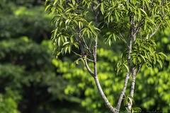20180708-0I7A8764 (siddharthx) Tags: 7dmkii bird birdwatching birding birdsinthewild bishanangmokiopark canon canon7dmkii ef100400f4556isii ef100400mmf4556lisiiusm nature singapore singaporeparks trek urbanbirds urbangreens sg whitethroatedkingfisher whitebreastedkingfisher kingfisher