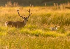 On the way back home (Peter Quinn1) Tags: easternmoors sheffield stonyridgeroad reddeer shortearedowl owl stag foxhouse
