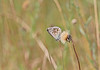 Chalk Hill Blue - Michael Bird (Michael R Bird) Tags: polyommatuscoridonchalkhillbluebarnackhillsandholesurereservecambridgeshire butterfly butterflies macro canon f28l chalk hill blue barnack hills hollows