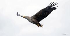 White tailed sea eagle (Pikingpirate1) Tags: white tailed sea eagle raptor barndoor wild ngc scotland mull