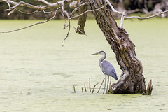 Sous un arbre - Under a tree (bboozoo) Tags: nature animal wildlife héron heron lake lac canon6d canon100400 tree arbre