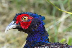 Common Pheasant (Kev Gregory (General)) Tags: common pheasant seen down yard looking scratch meal from around stables