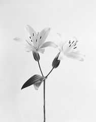 Blomster nr. 1 (Hans Bugge) Tags: foma100 bw large format 4x5 plants macro film