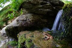 Grenouille des Pyrénées (Matthieu Berroneau) Tags: sony alpha macro nature france herpéto wildlife animal animaux ff 24x36 full frame a7ii 7ii 7mk2 sonyilce7m2 herping herpeto sonya7ii sonya7mk2 sonyalpha7mark2 sonyalpha7ii amphibien amphibian amphibia anoura anouran anoure tail less amphibians pyrenean frog rana pyrenaica grenouille des pyrénées pirenaica anura tailless varliagyviai basoigel piriniotarra ranapyrenaica pyreneanfrog grenouilledespyrénées stream cascade ruisseau