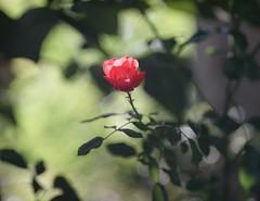 DSC09043 (Old Lenses New Camera) Tags: sony a7r kodak medalist ektar heliar 100mm f35 plants garden flowers rose roses