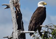 Don't mess with them (Snixy_85) Tags: eagle baldeagle haliaeetusleucocephalus