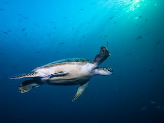 Magic Island Turtle