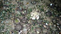 Black sea urchin (Temnopleurus toreumaticus) (wildsingapore) Tags: changi carpark1 echinodermata temnopleurus toreumaticus shore island singapore marine coastal intertidal seashore marinelife nature wildlife underwater wildsingapore
