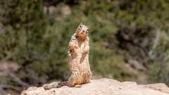 Whatcha Lookin' At? (spierson82) Tags: rocksquirrel summer grandcanyon spermophilusvariegatus squirrel canyon nationalpark grandcanyonnationalpark arizona vacation animal grandcanyonvillage unitedstates us hike brightangeltrail