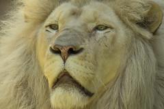 Witte Leeuw - Ouwehands - Rhenen (Jan de Neijs Photography) Tags: leeuw lion ouwehands ouwehandsdierenpark dierentuin zoo rhenen tamron tamron150600 150600 dierenpark nl holland thenetherlands dieniederlande utrecht diergaarde g2 tamron150600g2 witteleeuw animal dier afrikaanseleeuw krügerleeuw afrikaansewitteleeuw koning pantheraleo king koningvandewildernis thelionking
