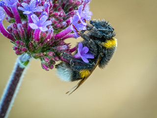 bumblebee covered with morning dew