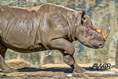 Running-Rhino (Jawor Photography) Tags: jaworphotography nature naturephotography natural landscape landscapephotography earth outdoors outside animal animals animalphotography wildlife wildlifephotography zoo zoology zoological chicagozoologicalsociety brookfieldzoo rhino blackrhino running run mammal mammals pachyderm
