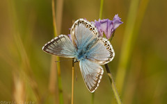 Chalkhill Blue (kevinclarke1969) Tags: chalkhill blue cambridgeshire butterfly