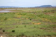 IMG_8341 Nisqually Estuary Restoration area (Jon. D. Anderson) Tags: nisquallynationalwildliferefuge estuary estuaryrestoration dodder wetland cuscutasalina