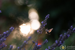Light wings (grimaux.jordan) Tags: sunset backigt light wings flying flight fly sun butterfly flower lavanda