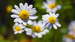 Dog Fennel (Anthemis cotula), Miller Creek - Duluth MN USA, 07/16/18 (TonyM1956) Tags: elements dogfennel anthemiscotula millercreek duluth tonymitchell nature stlouiscounty flower wildflower sonyalphadslr macro bokeh macrounlimited sonyphotographing