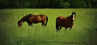 GERMANY, Pferde auf der Weide (serie horses), 76377/10331