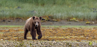 Grizzly Mum, Knight Inlet, BC