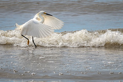 WalkingInTheSand (jmishefske) Tags: 2018 d850 sand nikon lakefront water walking milwaukee grant june southmilwaukee bird wisconsin snowy park beach egret county lakemichigan