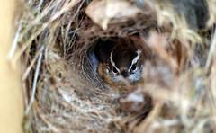Tenuous Truce (gatorgalpics) Tags: wren nest inmygarage explore164