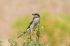 Loggerhead Shrike (Lanius ludovicianus) (byjcb) Tags: shrike birds reno nevada unitedstates us