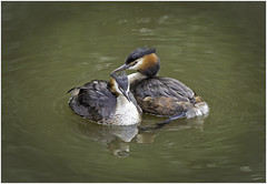 Togetherness (Charles Connor) Tags: greatcrestedgrebes grebes waterbirds birdphotography naturephotography nature wildlifephotography wildlife carrmilldam canon5d3 canonef100400mmmk2lens
