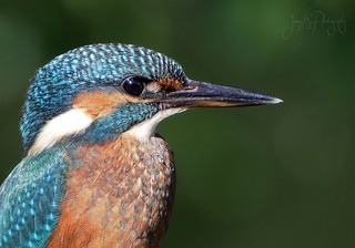 Female Kingfisher portrait.