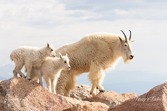 Mountain Goat adult and kids