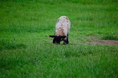 Lamb (Dave_A_2007) Tags: animal lamb mammal nature sheep wildlife stratfordonavon warwickshire england