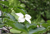 First Day of Summer (Stans Gallery) Tags: blossom flower closeup trees leaves white green summer