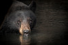 Those Eyes (Amy Hudechek Photography) Tags: black bear mammal wildlife nature lake spring yellowstone national park ynp amyhudechek bearportrait2
