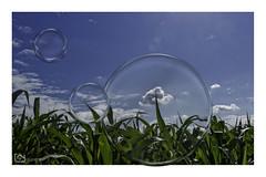 corn_field (alamond) Tags: corn field green sky clouds photoshop ps bubbles rural canon 7d markii mkii llens ef 1740 f4 l usm alamond brane zalar