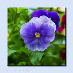 Pretty Maids All in A Row (tomh2m) Tags: purple pansy flower bloom violet background blue plant nature petal garden blossom beauty natural floral color botanical closeup summer decorative beautiful flora colorful gardening bright delicate pansies pansyflower