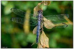 Slaty skimmer (adult male) dsc_0878 (blindhogmike) Tags: dragonfly augusta ga georgia phinizy swamp skimmer great blue insect odonata libelle libellule libélula macro tree