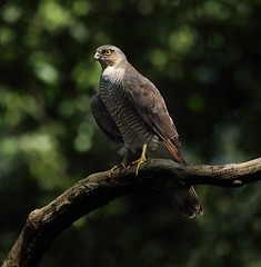 1S9A4355 (saundersfay) Tags: sparrowhawks hot cooling feathers preening birds trees woods