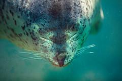 Meditating (moaan) Tags: kobe hyogo japan jp animal seal sspottedseal watertank underwater expressuon funny funnyface aquarium aqualife sumaaqualifepark depthoffield focusonforeground selectivefocus bokeh bokehphotography canoneos5dsr ef7020mmf28lisiiusm utata 2018