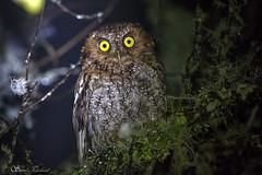 IMG_4400 Bearded Screech Owl - LN - Tecolote Barbudo - Tzontehuit, Chiapas, Mexico - June 2018 (Saad Towheed Photography) Tags: bearded screech owl tecolote barbudo tzontehuit chiapas mexico bird feather beak wing night prey