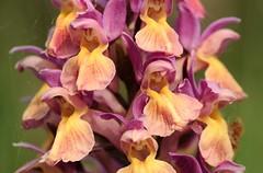 20180521-087P (m-klueber.de) Tags: 20180521087f 20180521087p 20180521 2018 mkbildkatalog nordeuropa skandinavien scandinavia schweden sweden sverige öland stora alvaret alvar unescowelterbe orchidee orchidaceae dacsamb dactylorhiza sambucina holunder fingerwurz knabenkraut holunderfingerwurz holunderknabenkraut holunderfingerknabenkraut var zimmermannii flora nordisch pflanzenwelt pflanze europäische skandinavische skandinavischeflora portfolio bildauswahl