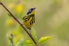 Paruline à tête cendrée / Magnolia Warbler (Jean-Marc Cossette) Tags: birds magnoliawarbler oiseaux parulineàtêtecendrée