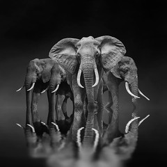 A composite image created in Photoshop. #composite #elephants #reflections #photoshop (Dave Holder) Tags: composite elephants reflections photoshop