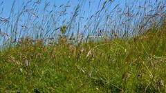 Marsh Helleborines (Epipactis palustris). (od0man) Tags: marshhelleborine epipactispalustris asparagales orchidaceae epidendroideae plant flower orchid terrestrialorchid macro wwt marlboroughdowns wiltshire uk macrolife canonef100mmf28lisusmmacro
