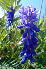 Wild Orchid (stuartcroy) Tags: orkney island flower orchid beautiful blue scotland sony wildflowers