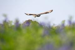 Skomer Island-5 (DoctorTimbo) Tags: skomer skomerisland wales owl shortearedowl