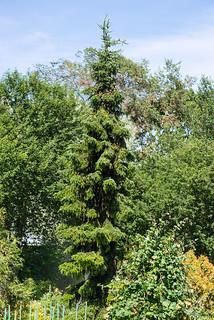 Picea omorika (Pinaceae)