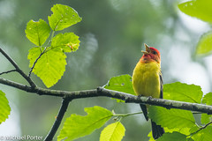 Western Tanager (Michael J Porter) Tags: beach bird birds family miraclebeach nature nortons outdoor vancouverisland wildlife