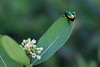 Iridescent (Jen_Vee) Tags: dogbane beetle insect green iridescent shiny tiny leaf flower plant weed crawl valleyforge nature pennsylvania metallic summer explore bugs canon