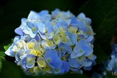 Hydrangea (npbiffar) Tags: garden outdoor flower hydrangea plant blossom blue npbiffar macro 150mm sigma d7100 nikon coth5