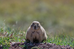 Prairie dogs in den Black Hills (sgplewka) Tags: prairiedog usa 2017 windcavenp animals tiere urlaub custer southdakota us